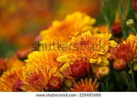 Colorful orange yellow Mum or Chrysanthemum flowers blooming in garden. Shallow depth of field with copy space.  - stock photo