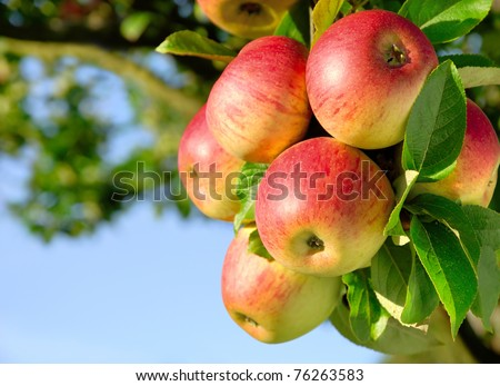 Colorful outdoor shot containing a bunch of red apples on a branch ready to be harvested - stock photo