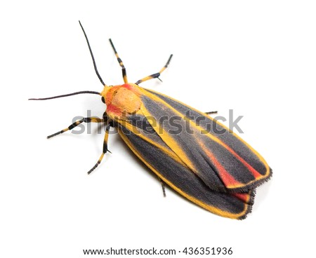 Colorful Painted Lichen Moth (Hypoprepia fucosa) on a white background - stock photo