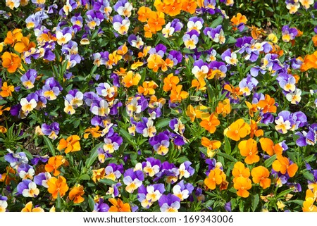 Colorful pansies background - stock photo