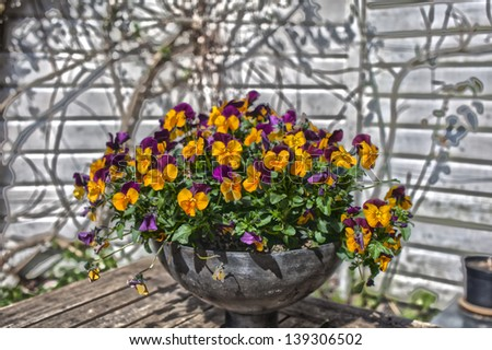 Colorful pansies in a pot in a summer garden - stock photo