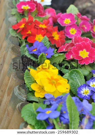 colorful pansies on a wooden border  - stock photo