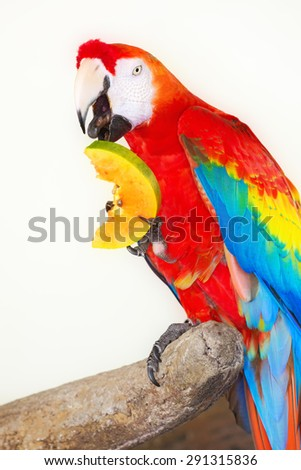 Colorful parrot eating fruit isolated in white background - stock photo