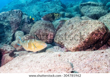 colorful parrot fish while diving - stock photo