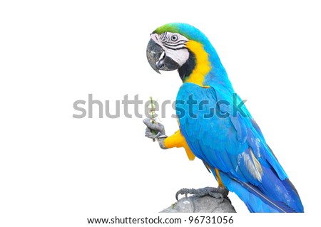 colorful parrot isolated in white background