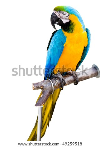 colorful parrot maccaws isolated in white background
