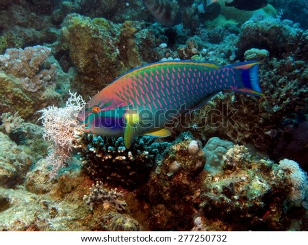 Colorful parrotfish on reef