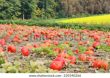 Colorful patch with pumpkins ready to be harvested and used for Thanksgiving or Halloween celebration - stock photo