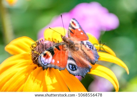 Colorful Peacock Butterfly on Yellow Flower
