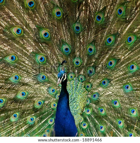 Colorful peacock display with detail in feathers