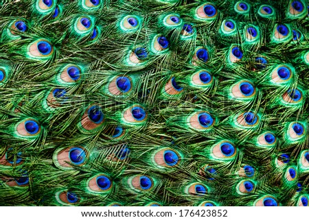 Colorful peacock feathers background - stock photo