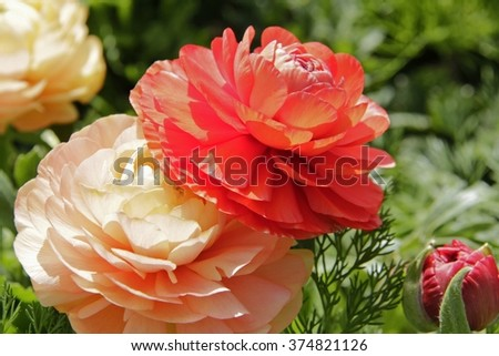 Colorful Persian buttercups in the Spring garden, Ranunculus asiaticus