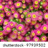 Colorful pink Aster flowers. - stock photo