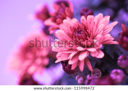 Colorful pink autumnal chrysanthemum background - stock photo