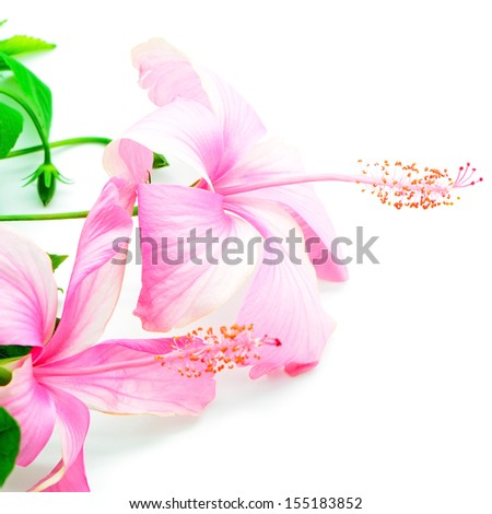 Colorful pink Hibiscus flower isolated on a white background