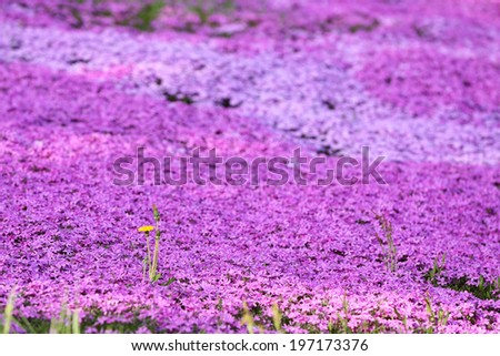 colorful pink moss phlox as background,landscape with pink flower, pink moss,on the mountain shitose Hokkaido Japan. - stock photo