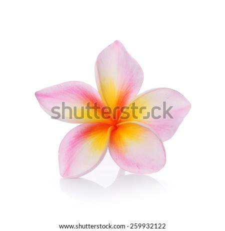 colorful plumeria flower isolated on white backgrond - stock photo