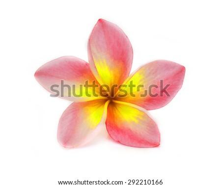 colorful plumeria flower isolated on white background - stock photo