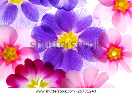 colorful primula flowers on light box