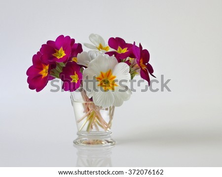 Colorful primula, primrose, polyanthus spring flowers. Bouquet of spring flowers in a vase on a white background. Simple romantic floral still life. - stock photo