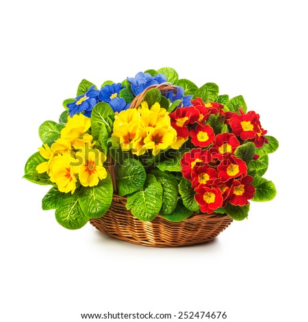 Colorful primula spring flowers in basket isolated on white background. Single object with clipping path - stock photo