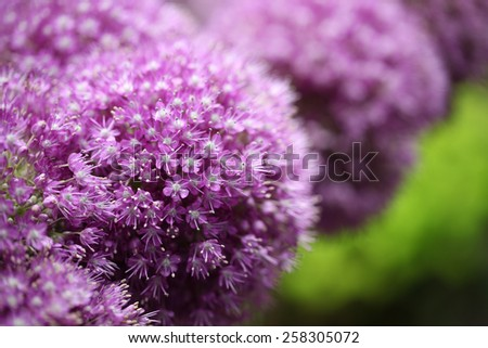 colorful purple allium flower background - stock photo