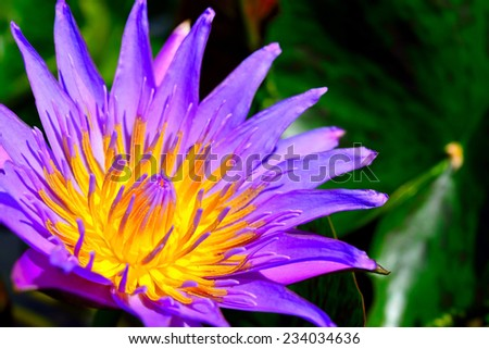 colorful purple water lily in thailand  - stock photo