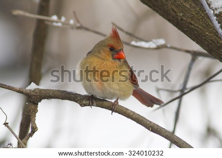 Colorful Red Christmas Bird perched on a snowy tree branch in December - stock photo