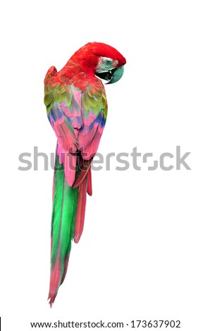 Colorful Red Macaw bird in back profile, parrot isolated on white background - stock photo