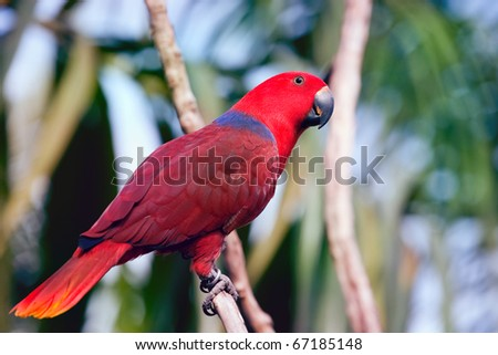 colorful red parrot