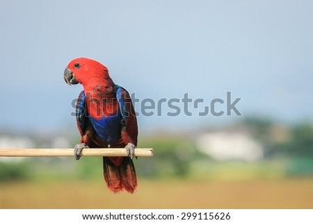 Colorful red parrot, a female Eclectus parrot (Eclectus roratus) - stock photo
