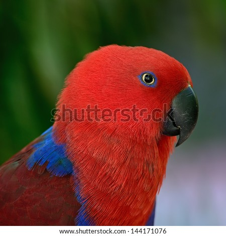 Colorful red parrot, a female Eclectus parrot (Eclectus roratus), face profile