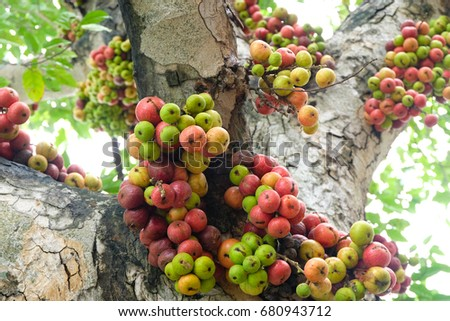 Colorful ripe figs fruit on tree
