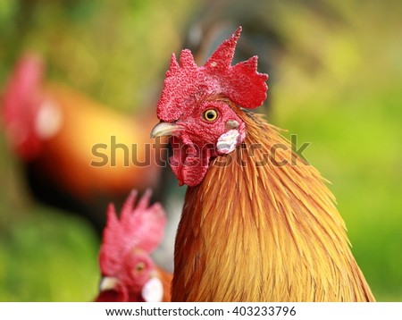 colorful rooster on green nature background - stock photo