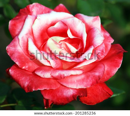 Colorful rose - stock photo