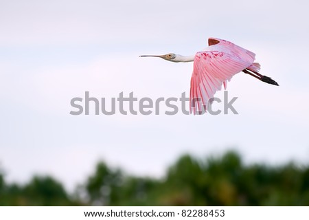 colorful roseate spoonbill in flight over florida wetland, with warm dawn light - stock photo
