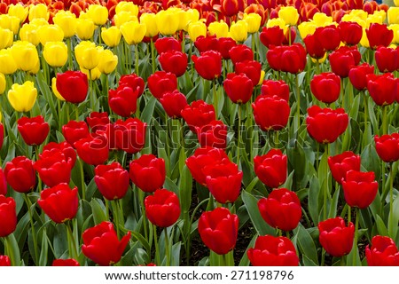 Colorful rows of red, yellow and orange tulip flower varieties in tulip field on flower bulb farm - stock photo