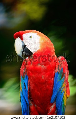 Colorful Scarlet Macaw aviary, breast profile