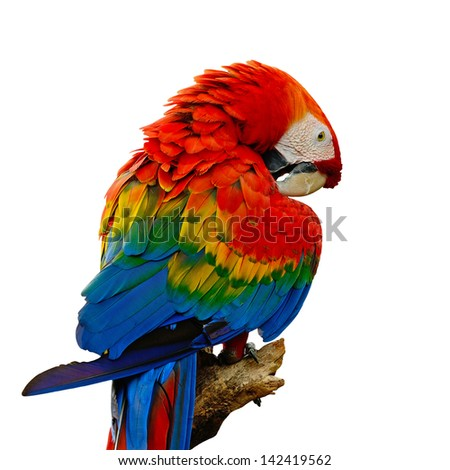 Colorful Scarlet  Macaw aviary, sitting on the log, back profile, isolated on a white background