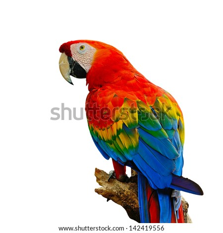 Colorful Scarlet  Macaw aviary, sitting on the log, isolated on a white background - stock photo