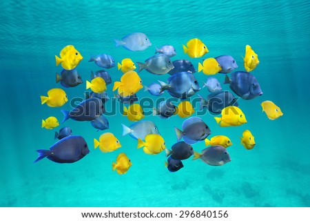 Colorful school of tropical fish, blue tang fish (yellow are juvenile), below water surface, Caribbean sea - stock photo