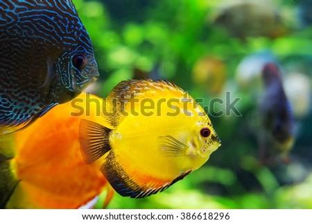 colorful sea fish in the aquarium - stock photo