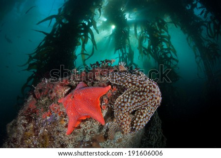 Colorful sea stars cling to the rocky bottom of a kelp forest growing off the coast of Northern California.  - stock photo