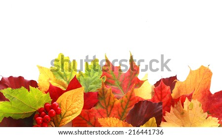 Colorful selection of a variety of autumn leaves in different shapes and colors forming a border over white copyspace for your text or Thanksgiving message with a sprig of red fall berries - stock photo