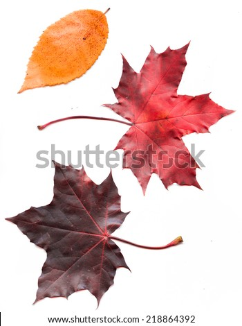 Colorful set of autumn leaves. collection beautiful colorful autumn leaves isolated on white background - stock photo