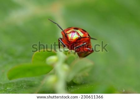 Colorful Shield Bug - stock photo