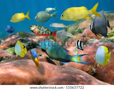 Colorful shoal of tropical fish above massive starlet coral, Caribbean sea - stock photo
