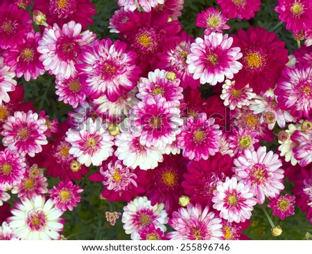 colorful small chrysanthemums closeup, natural background - stock photo