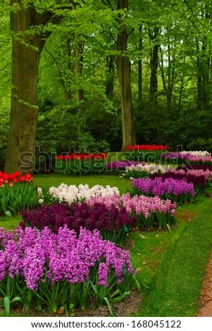Colorful spring blossom of hyacinth in dutch garden 'Keukenhof', Holland - stock photo