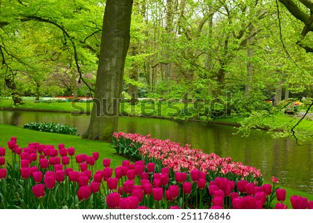 Colorful spring lawn with mauve tulips  in  garden Keukenhof, Holland - stock photo